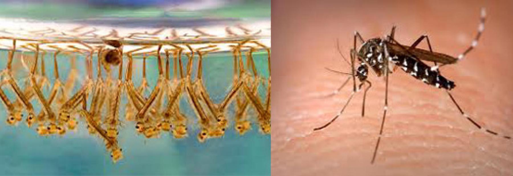 zanzare_e_larve