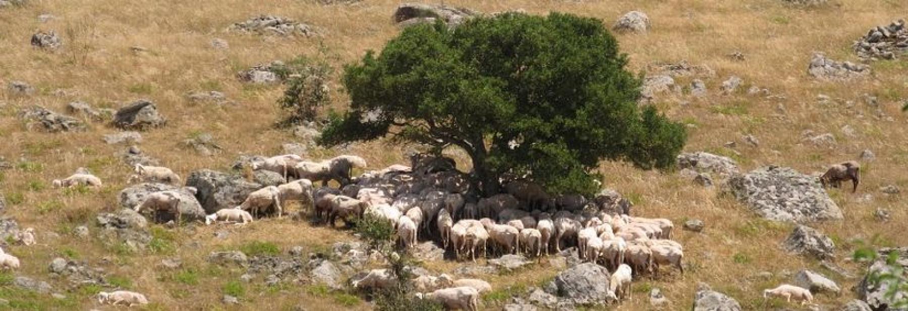 pecore_al_pascolo